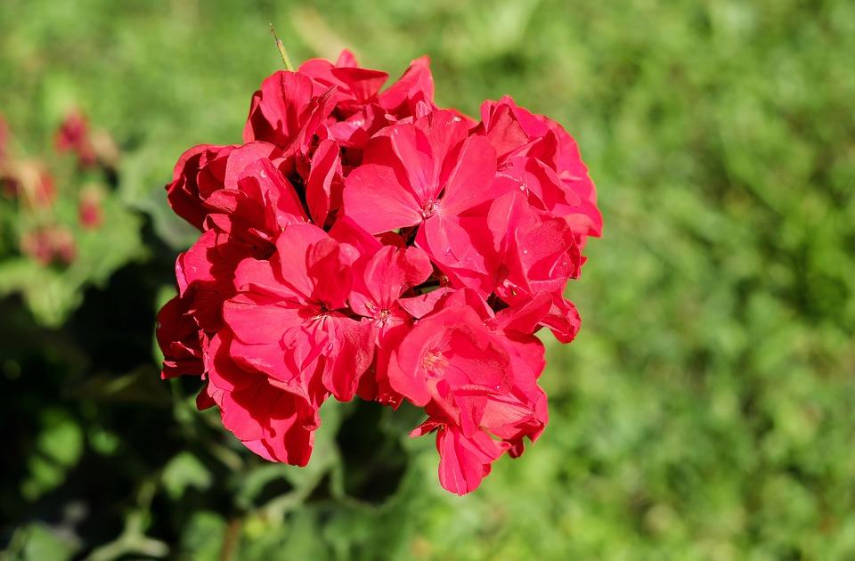 fleurs offrir géranium rouge rose signification