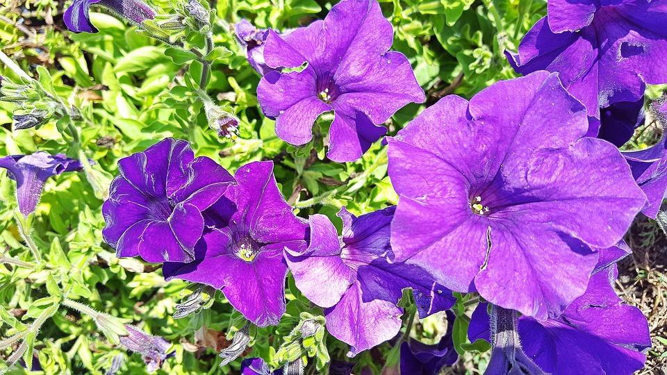 pétunias jardin fleur violette