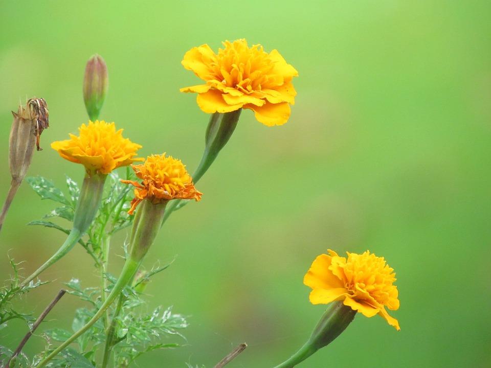 fleurs œillets jaunes