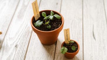 planter pots fraises plantes potager intérieur