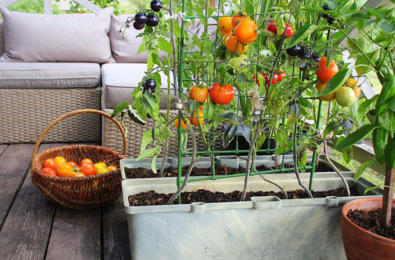 potager intérieur jardin tomates plants cultiver