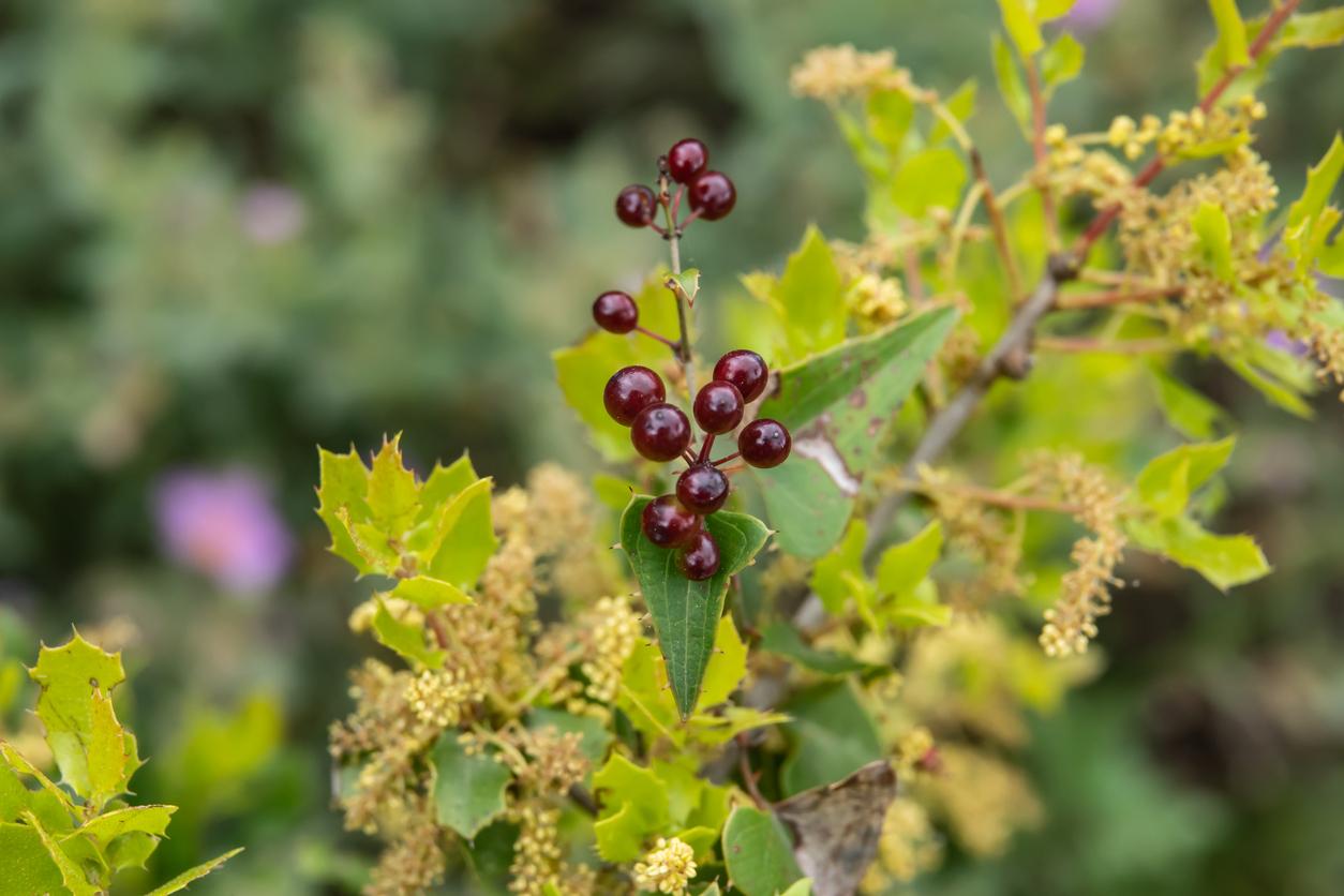 plante salsepareille fruits baies rouges