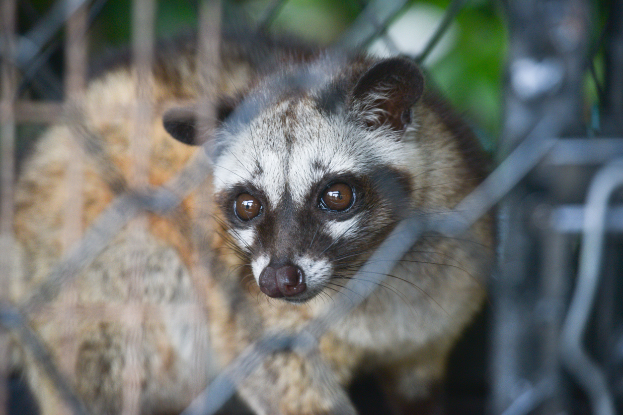 chat civette animal en cage parfum vegan non testé sur les animaux