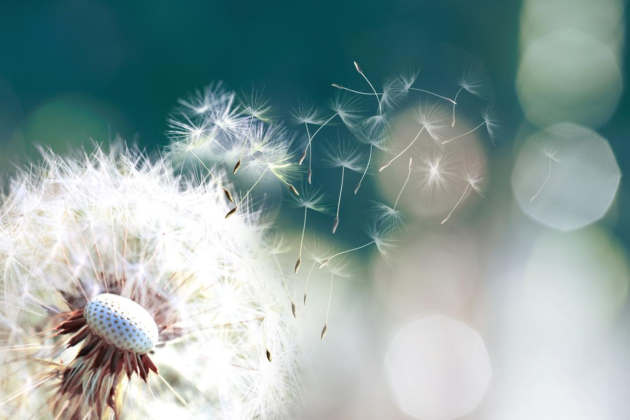 pissenlit fleur pollen allergies printemps